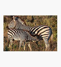 Baby Zebra Suckling Fotodruck