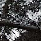 Iguana on Branch by Bill Wetmore