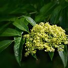 Mexican elderberry bloom by Celeste Mookherjee