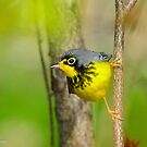 Canada Warbler  by Nancy Barrett