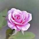 Pretty Pink Rose by TheaShutterbug