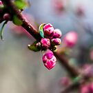 Cherry Almost Blossoms/Redmond by Richard Bozarth