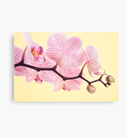 Pink phalaenopsis orchid blossoms Canvas Print