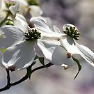 Dogwood in White by nastruck