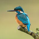 Common kingfisher (Alcedo atthis) by Stephen Liptrot