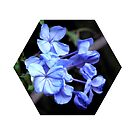 Blue Cape Plumbago by swelldame