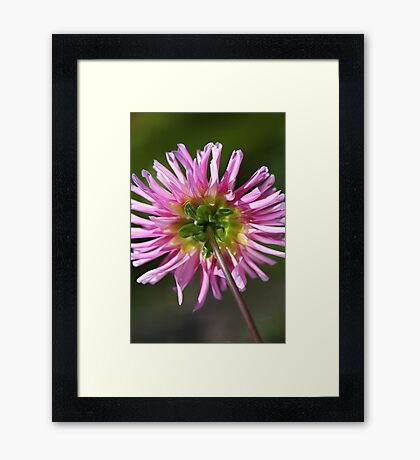 Light Dahlia's Back Framed Print
