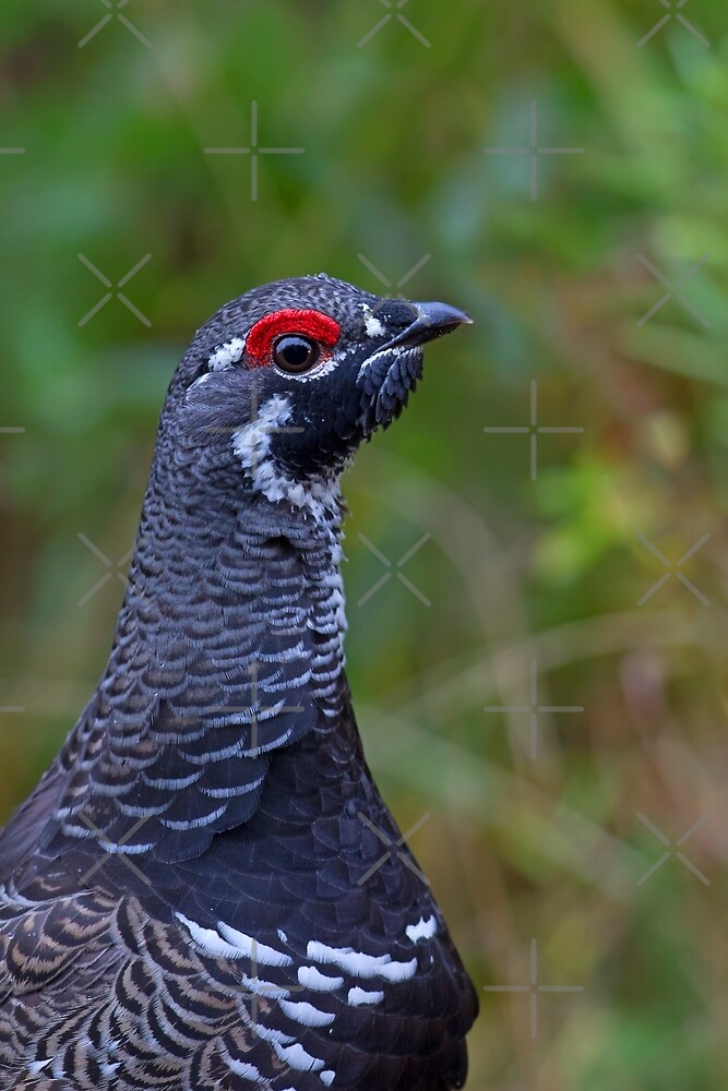 Spruce Grouse - Algonquin Park, Canada by Jim Cumming