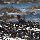 African black oystercatcher by richeriley