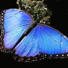 Elusive Blue by Rosalie Scanlon