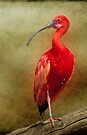 Red Ibis 2 by Lissywitch