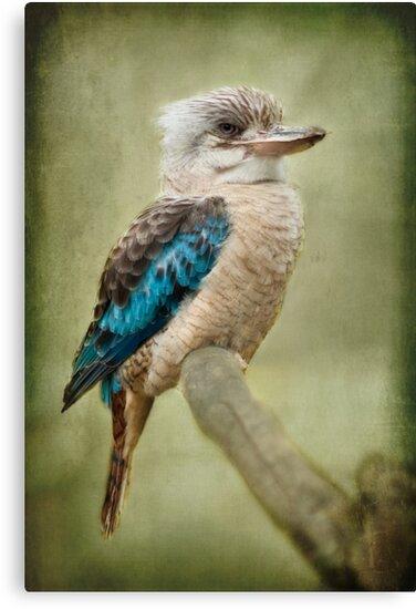 Kookaburra by Lissywitch