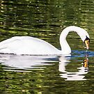 Swanning around by ABGPhotography