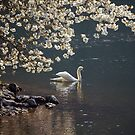 Swan & Blossom by ABGPhotography