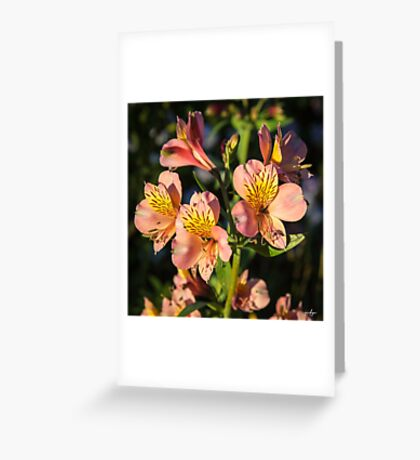 Peruvian Lily Greeting Card