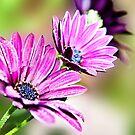 Osteospermum Sabrina 2 by Lissywitch