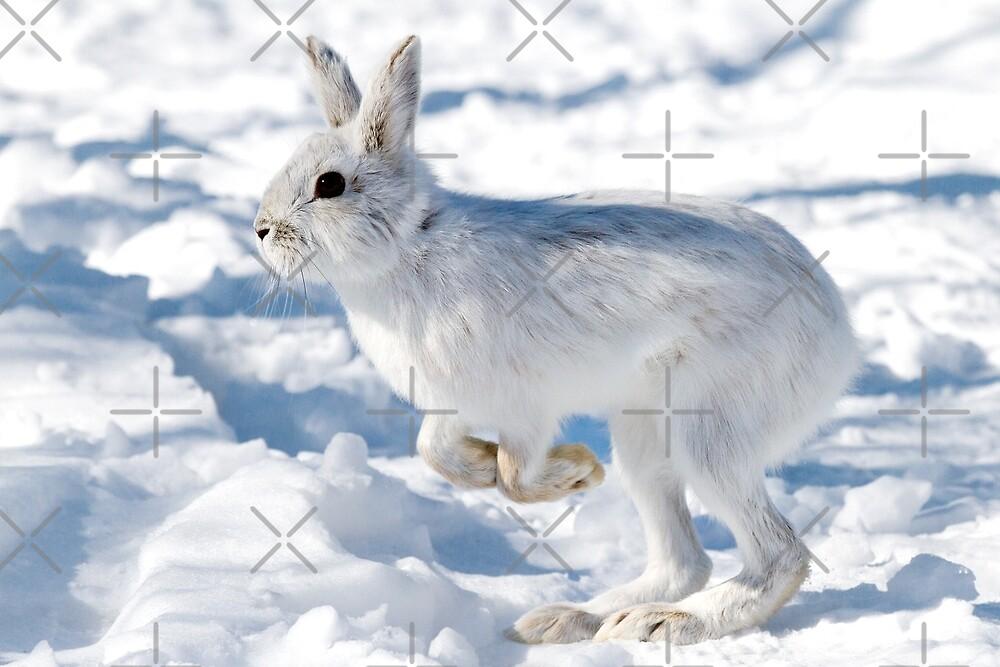 Kangaroo Rabbit - Snowshoe Hare by Jim Cumming