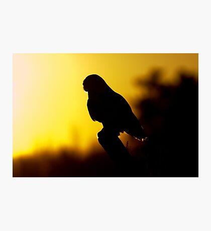 Night Owl - Snowy Owl Photographic Print