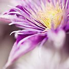 Clematis by Lissywitch