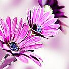 Osteospermum Sabrina by Lissywitch