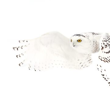 He went that away - Snowy Owl by darby8