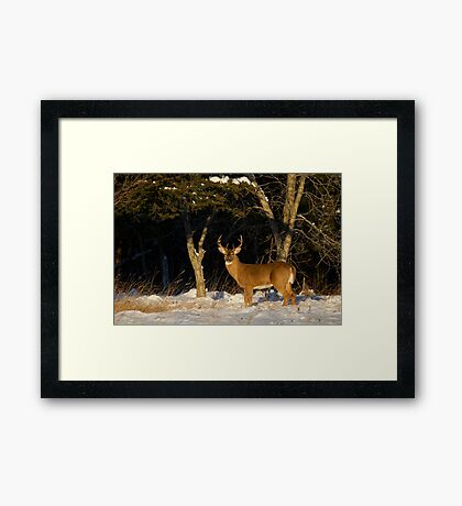 A Winters Sunset - White-tailed deer Buck Framed Print