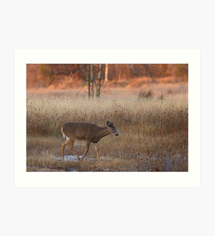 Sunset Wanderer - White-tailed deer Art Print