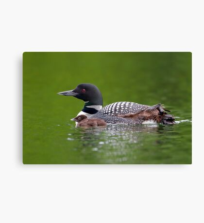 By her side - Common loon Canvas Print