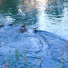 Duck Family in Water by Christine  Wilson
