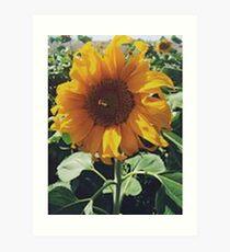 Sunflower in a Field. Art Print