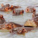 A FAMILY GATHERING - *Hippopotamus amphibious* by Magriet Meintjes