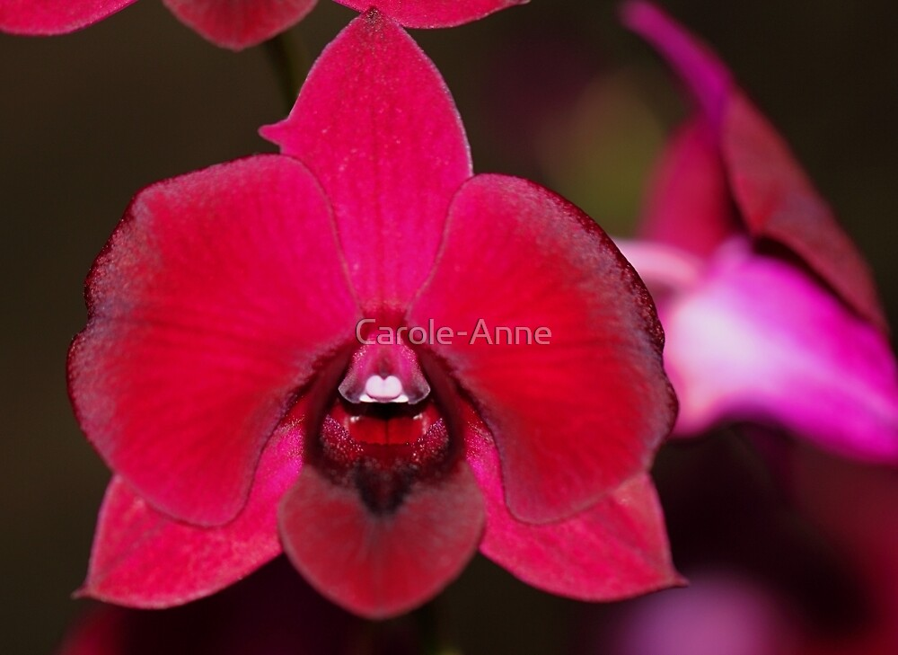 Red Orchid by Carole-Anne