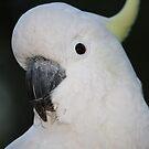 Close-up of a Cockatoo by aussiebushstick