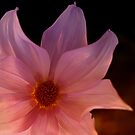Tree dahlia by Colleen Milburn