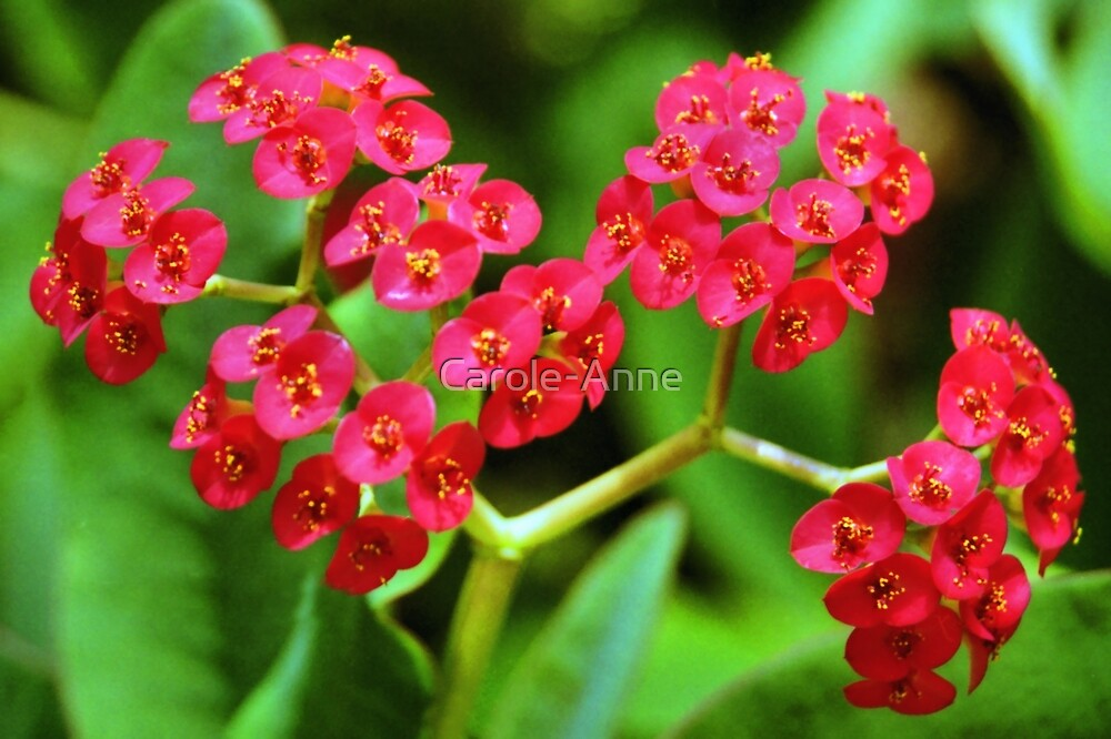 Crown of Thorns by Carole-Anne