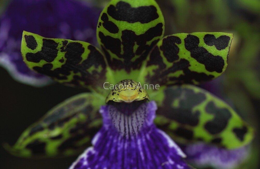 Zygopetalum Orchid Macro by Carole-Anne