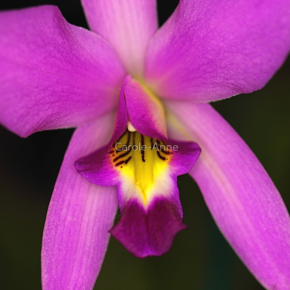 Bright Orchid by Carole-Anne