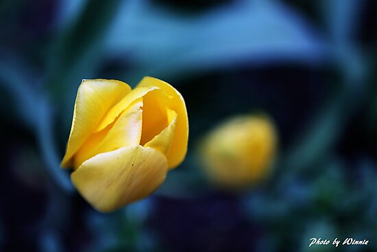 Yellow Tulip by Joshua Hale