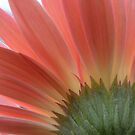 Gerbera Radiance by Maryanne Lawrence