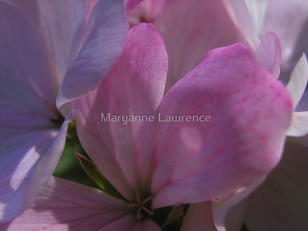 Pink by Maryanne Lawrence