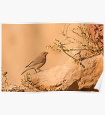 Sinai Rosefinch (Carpodacus synoicus) female on the ground,  Poster