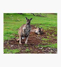Kangaroos, Whats up Down Under Photographic Print