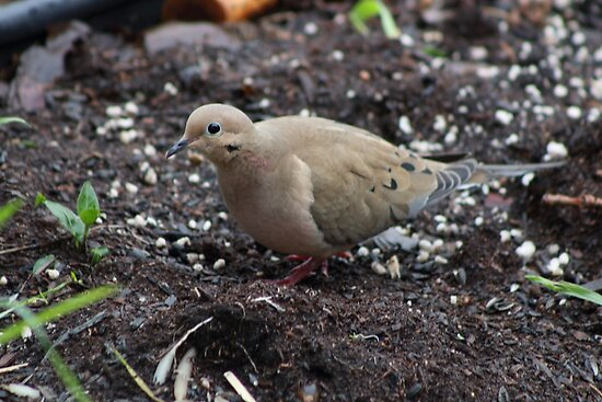 Mourning Dove by Laura Puglia