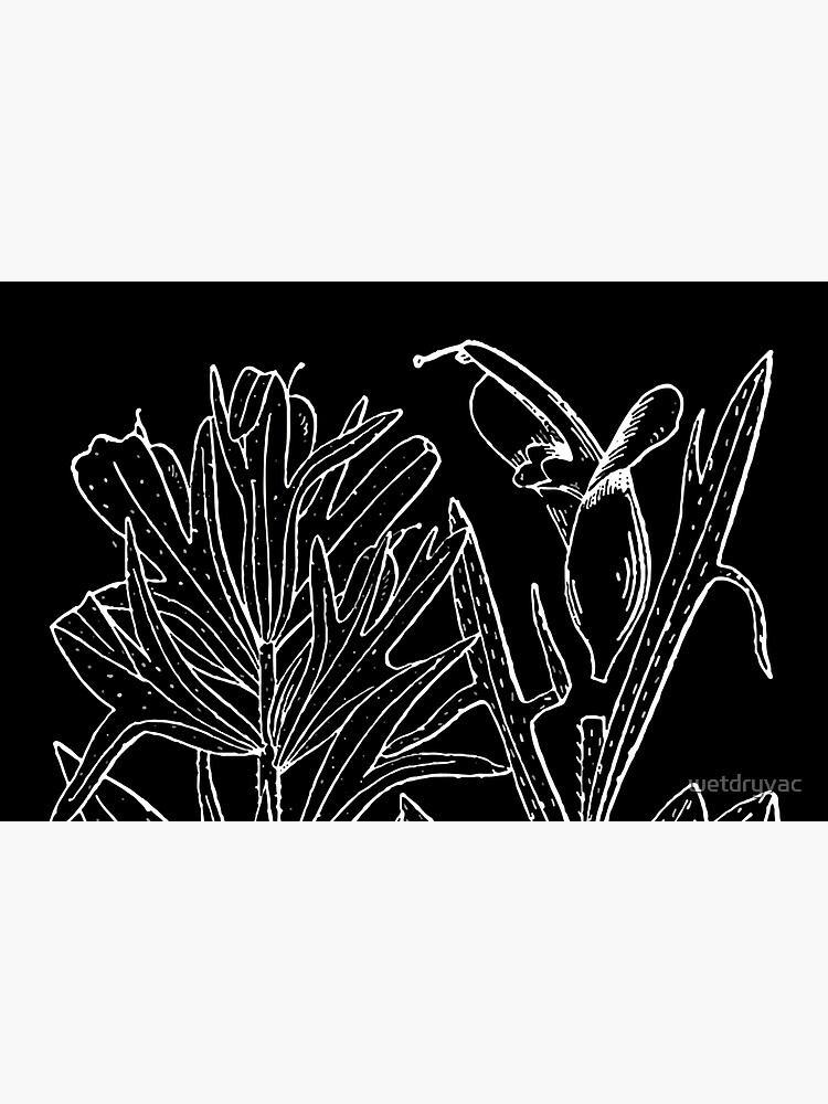Britton And Brown Illustrated flora of the northern states and Canada 0407 Castilleja coccinea drawing von wetdryvac