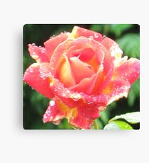 Late Blooming  Bubble  Rose Canvas Print