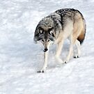 Winter Wolf Walk _ Timber Wolf by Poete100