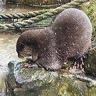 Asian Otter........Devon UK by lynn carter