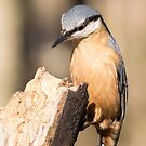 Nuthatch by Ellesscee