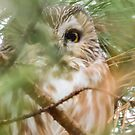 Northern Saw-whet Owl In Iowa by Deb Fedeler