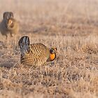 Prairie Chicken 4-2015 by Thomas Young